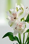 weiße Mini-Lilien