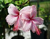 Pink Hibiscus Flowers on the Plant