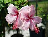 Rosa Hibiskusblüten auf der Pflanze
