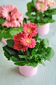 Gerbera daisies in tin cans painted pink