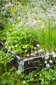 Herb bed with chives and parsley