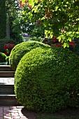 Box hedges on a garden path