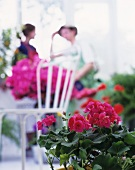 Geraniums with pink flowers and chair in the background
