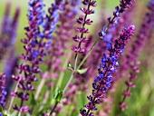 Woodland sage (Salvia Nemorosa)