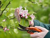 Secateurs Cutting Apple Blossom