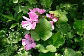 Pink malva in a garden
