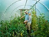 Paar bei der Ernte im Gewächshaus