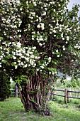 Summer-flowering shrub in garden