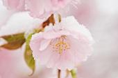 Kirschblüte mit Schneehaube