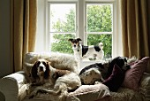 Two dogs lying on comfortable sofa amongst many scatter cushions with smaller dog standing on windowsill in background between floor-length curtains