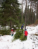 A family dragging a freshly chopped pine tree through the forest