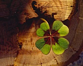 Iron cross oxalis (Oxalis tetraphylla) on a tree trunk
