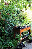 Terrace area with raspberry bushes and potting table