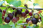 Ripe gooseberries on the branch with green leaves in summer daylight