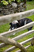 Black and white dog lying on lawn in front of stone wall viewed through weathered wooden gate
