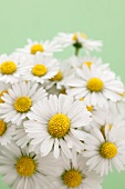 Daisies against green background