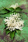 Elder flowers and leaves on an old metal table