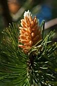 Flowering pinecone