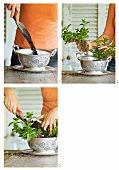 Planting mint in a colander