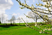 Budding cherry tree branches in front of a lush green countryside with scudding clouds in the sky