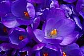 Nahaufnahme violetter Krokusblüten mit orangen Stempeln