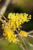 Blüte einer Kornelkirsche (Cornus Mas)