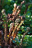 Ferns in the spring with furled, young fern leaves