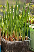 Chives in planting tray