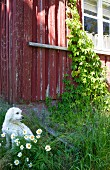 White dog sitting behind flowering ox-eye daisies in tall grass in front of weathered Scandinavian wooden house