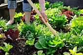 A lady with a hoe loosening the soil in a vegetable bed with lettuce varieties