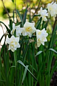 Close up of white daffodils in the garden