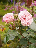 Blooming roses (Variety: Maria Theresia) in the garden