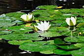Water lily leaves and flowers in pond