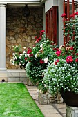 White and red flowering plants in pots on stone plinths against house facade