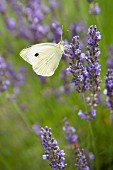 Cabbage white butterfly on flowering lavender