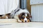 Puppy on threshold between house and garden