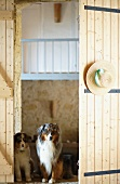Two Australian Shepherds on threshold of open barn door