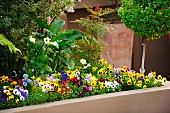 Raised masonry bed of violas with flowering calla lilies and small box tree