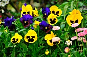 Yellow and blue violas and pink bellis 'Rob Roy' in flower bed