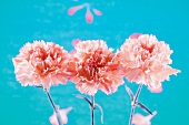 Three pink carnations against blue background