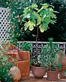 Feigenbäumchen (Ficus Carica), Sternwinde (Quamoclit Lobata) und Pinienbäumchen neben einem Korbsessel auf einem Balkon