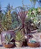 Drought-tolerant plants: cabbage palm (Cordyline Australis), aloe yucca (Yucca aloifolia)