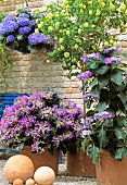 Hydrangea and violas in terracotta planters on terrace