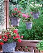 Various geraniums in vintage baskets