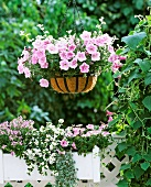 Hanging basket of pink trailing petunias and silver-leafed helichrysum on summery balcony