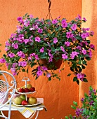 Trailing busy lizzie (Impatiens walleriana) in hanging basket above small table with fruit on cake stand