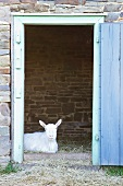 Goat in goat shed
