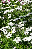 Blooming ox-eye daisies in sunshine
