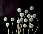 Several dandelion clocks