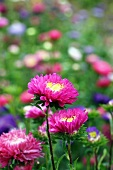 Pink asters in garden